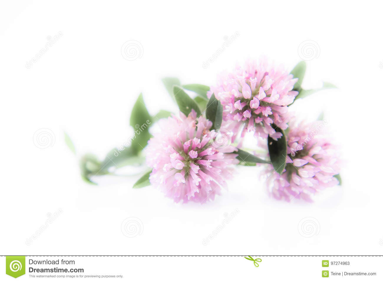 Pink Clover Flowers Stock Image Image Of Clover Leaf 97274963