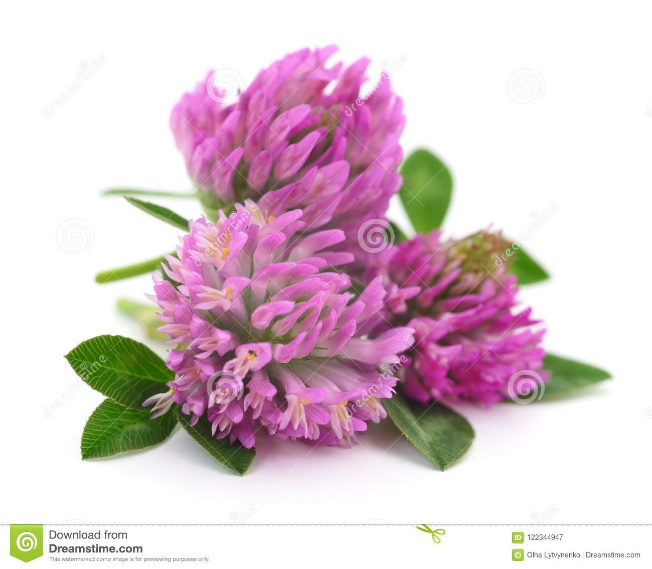 Pink Clover Flowers Stock Image Image Of Beauty Wild 122344947