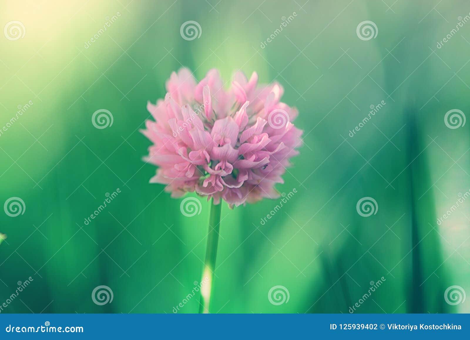 Pink clover in a green grass