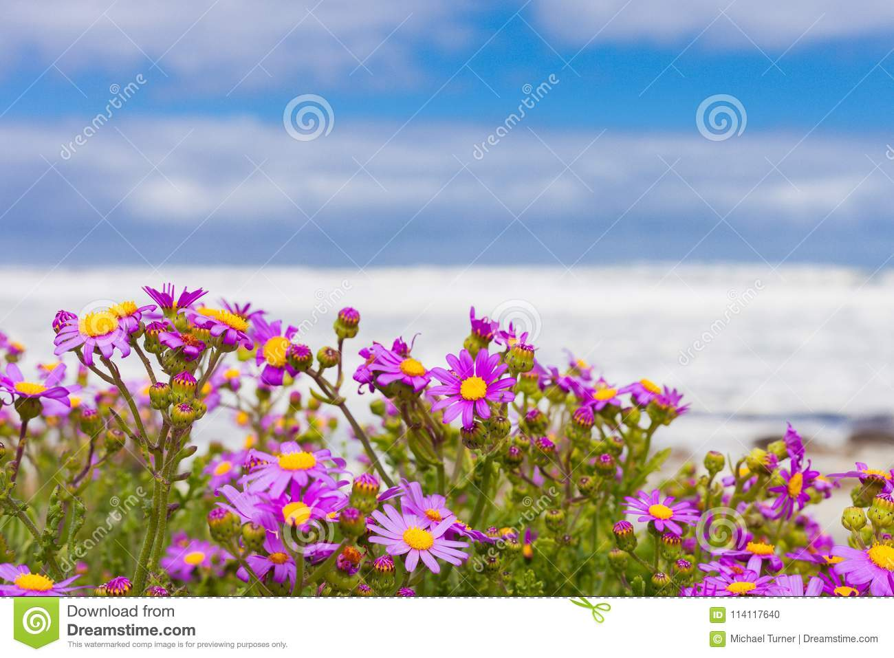 Pink Coastal Flowers On A Beach In Cape Town South Africa Stock