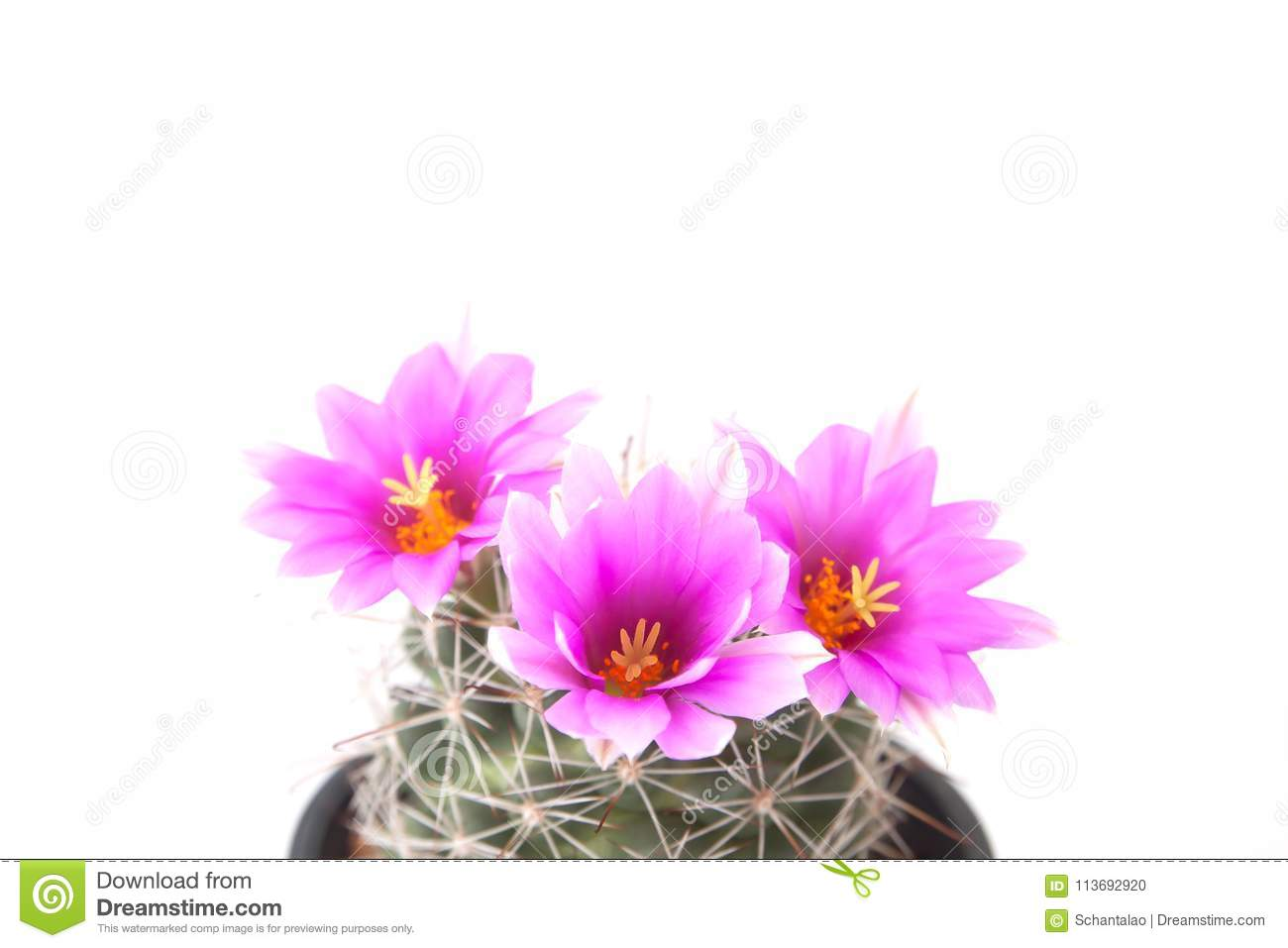Pink Color Flower Cactus Isolated On White Background Close Up