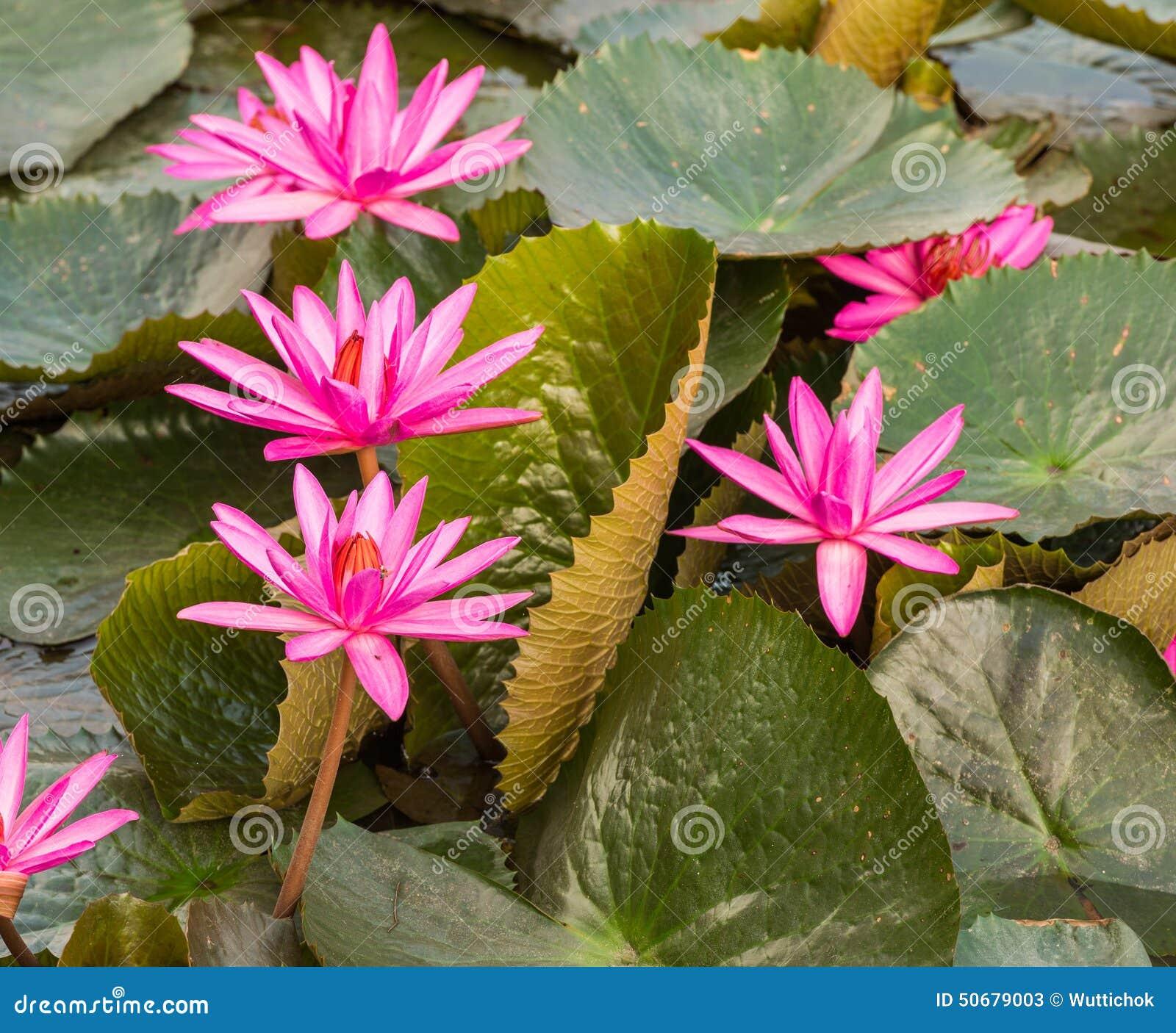 Pink Color Fresh Lotus Flower Blossom Stock Photo 50679003 Megapixl