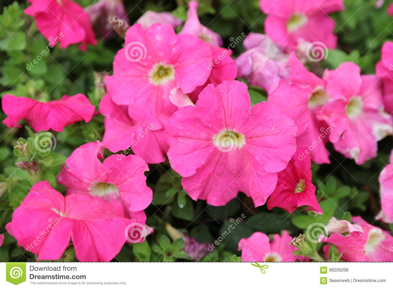 pink color orning glory at garden 2017 stock photo - image: 89205206