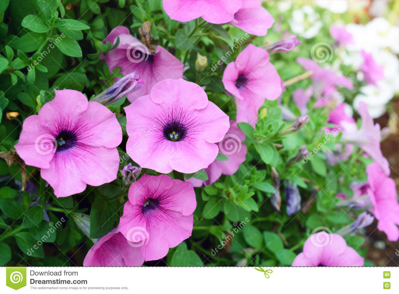Pink color petunia flowers stock image. Image of grow - 73762161
