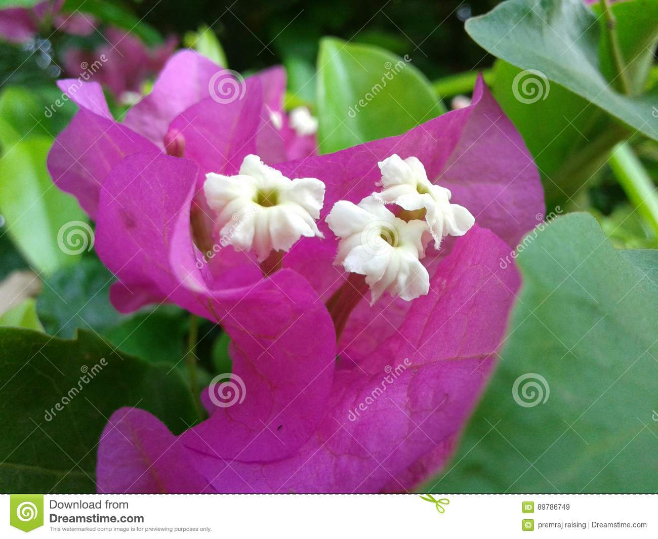 The Pink Colour Beautyfull Flowers Stock Image Image Of Size