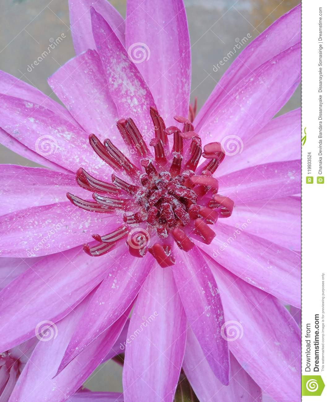 Pink Colour Flower With White Seeds Stock Photo Image Of Seeds