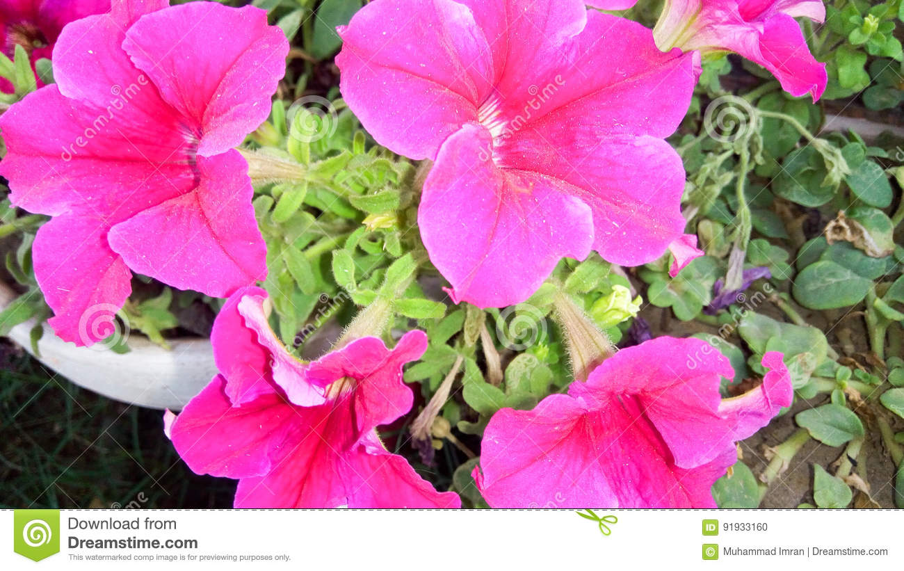 Pink Colour Flowers Stock Photo Image Of Image Picture 91933160