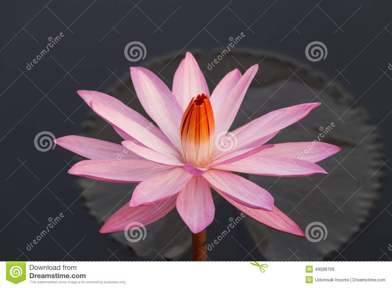 Pink Colour Lotus Flower Stock Image Image Of Green 49589769