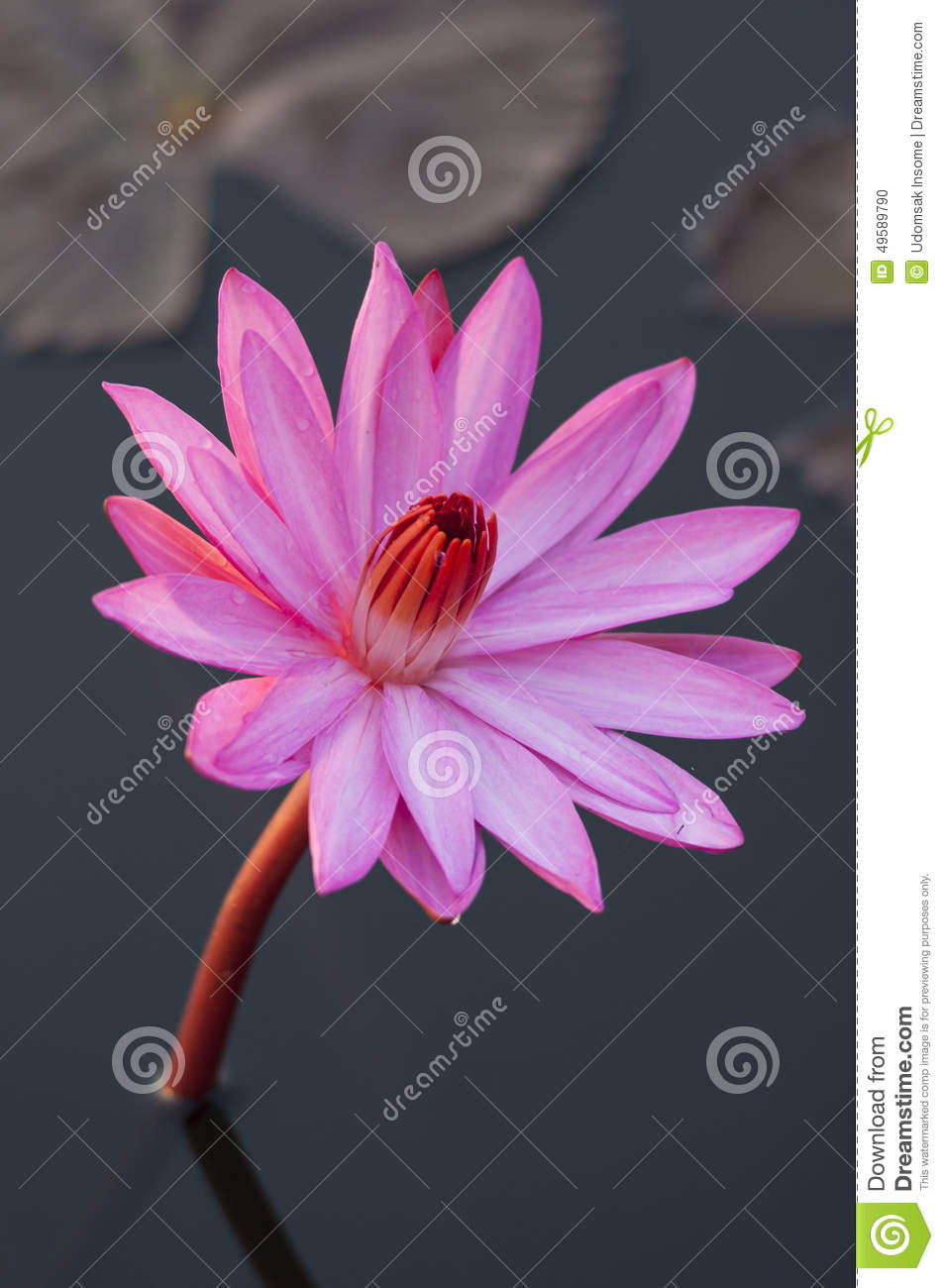 Pink Colour Lotus Flower Stock Photo Image Of Beautiful 49589790