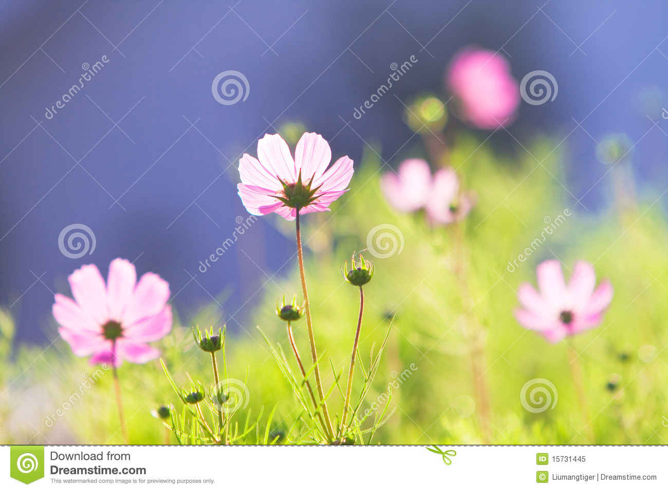 Pink mon Cosmos Flowers Royalty Free Stock Image