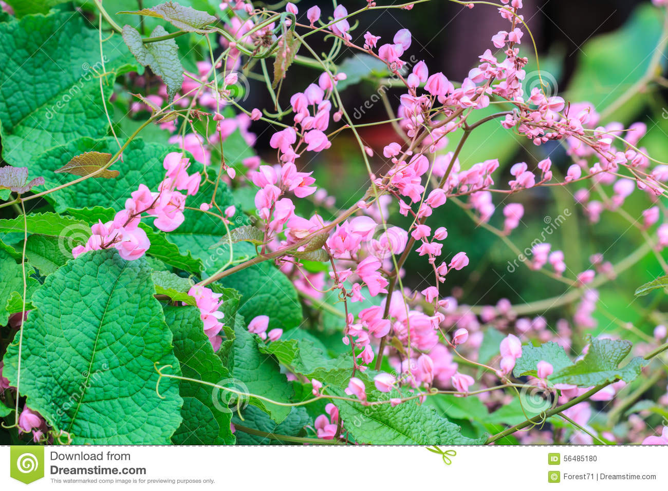 Pink Confederate Vine Flower Stock Photo Image Of Coral Flower