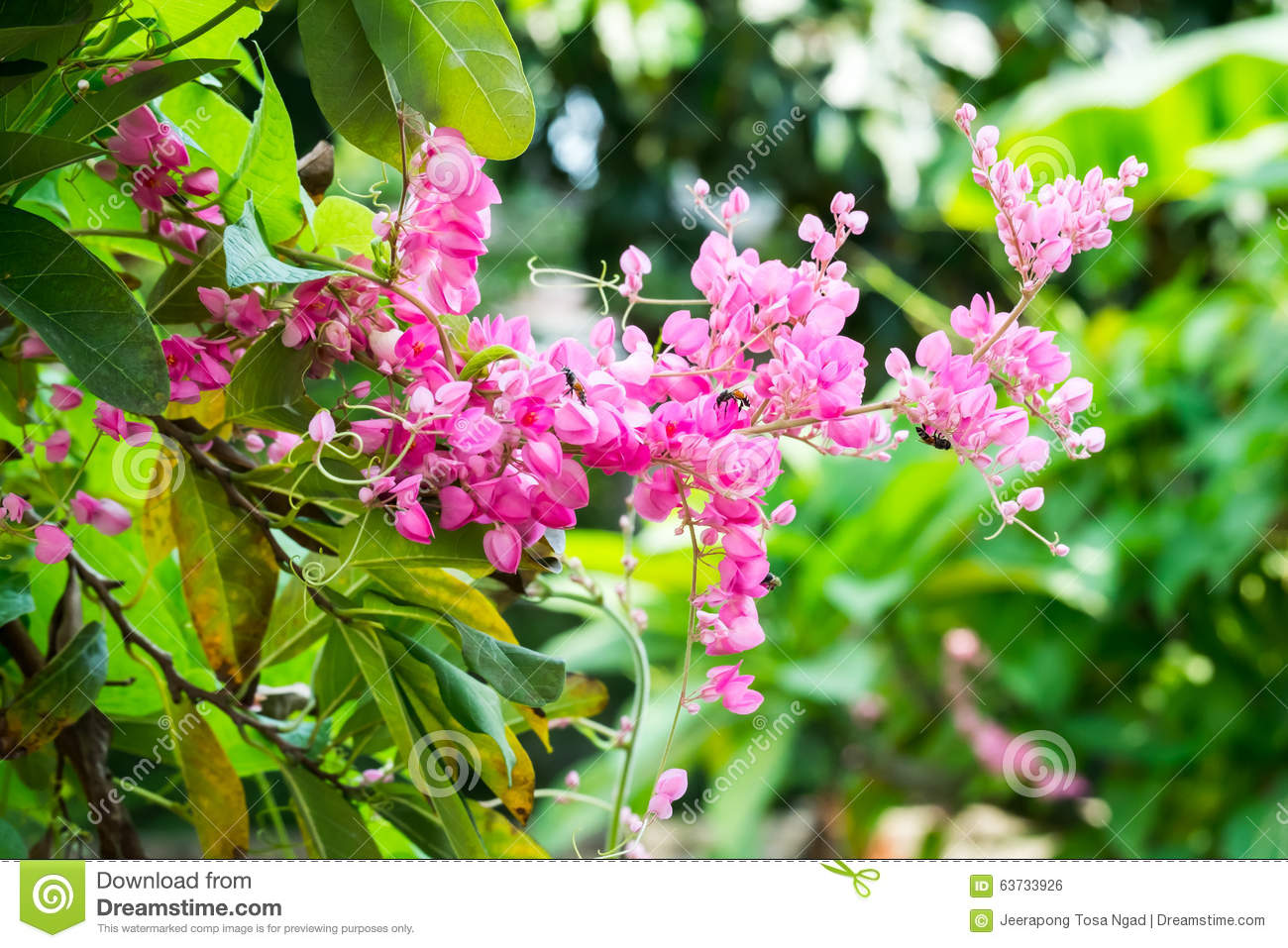 Pink Confederate Vine Flower Stock Photo Image Of Green Queen