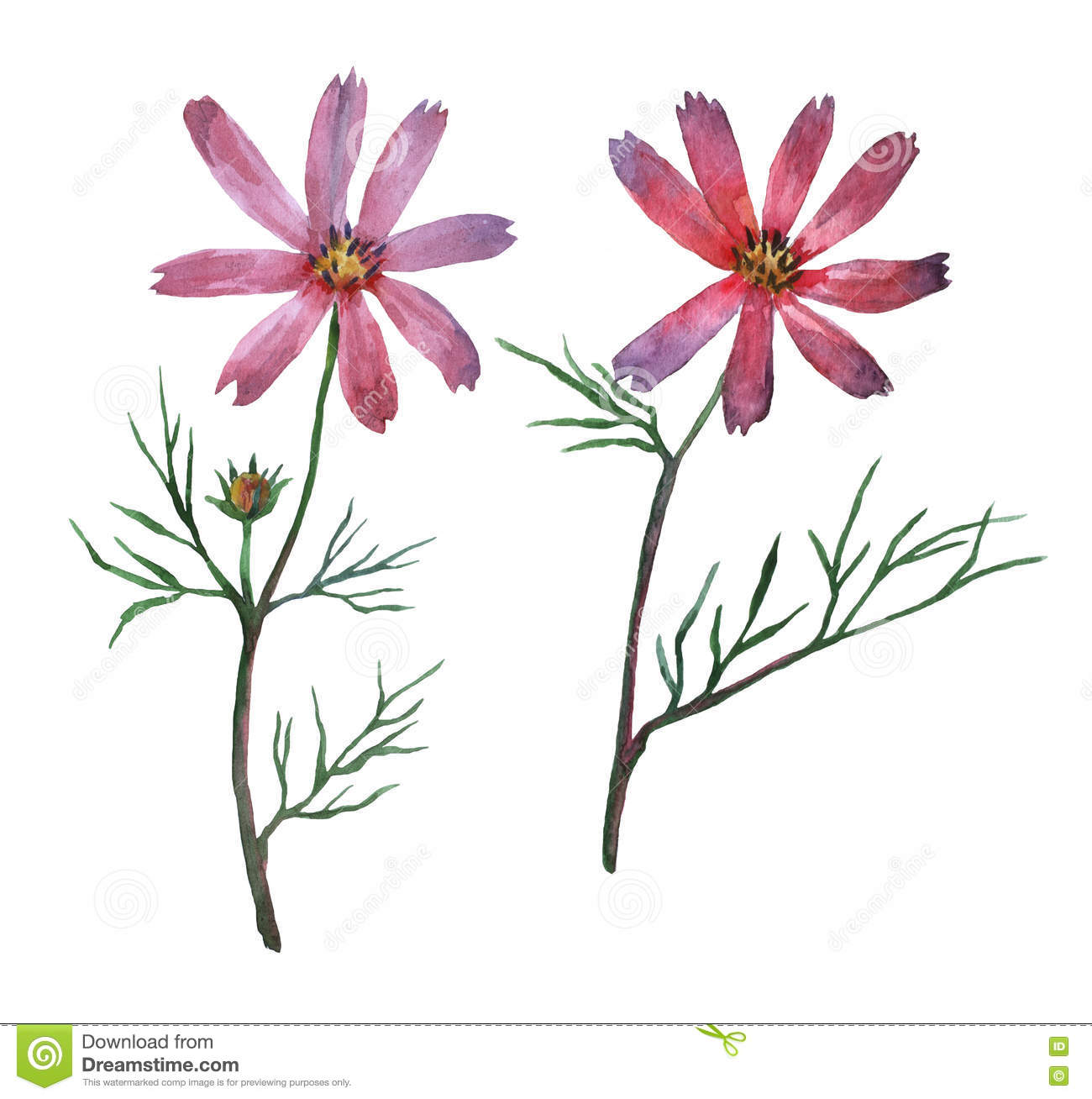 Pink Cosmos bipinnatus, commonly called the garden cosmos or Mexican aster.