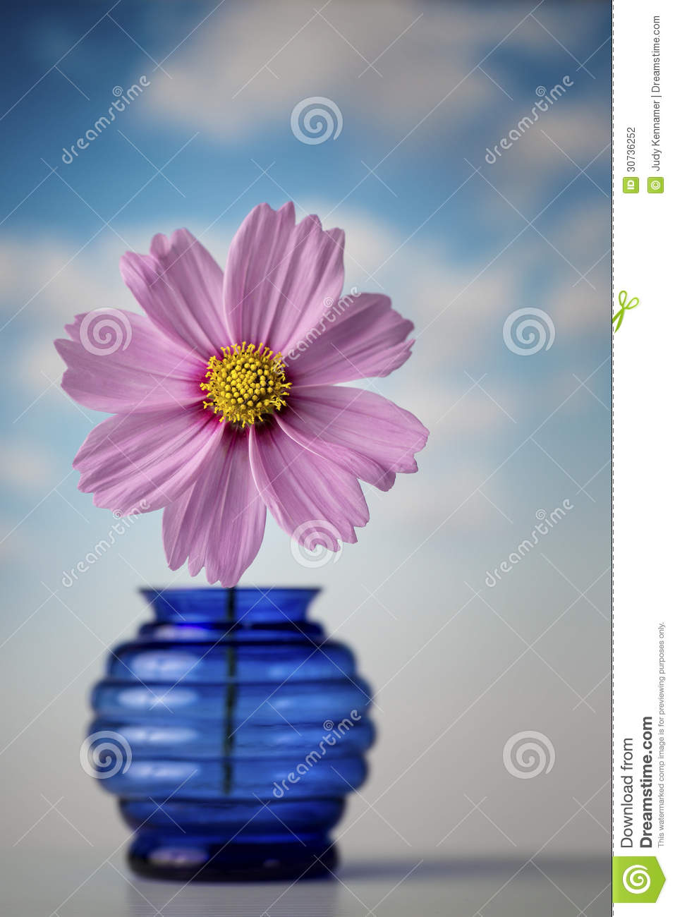 Pink Cosmos Flower In Blue Vase Stock Photography - Image ...