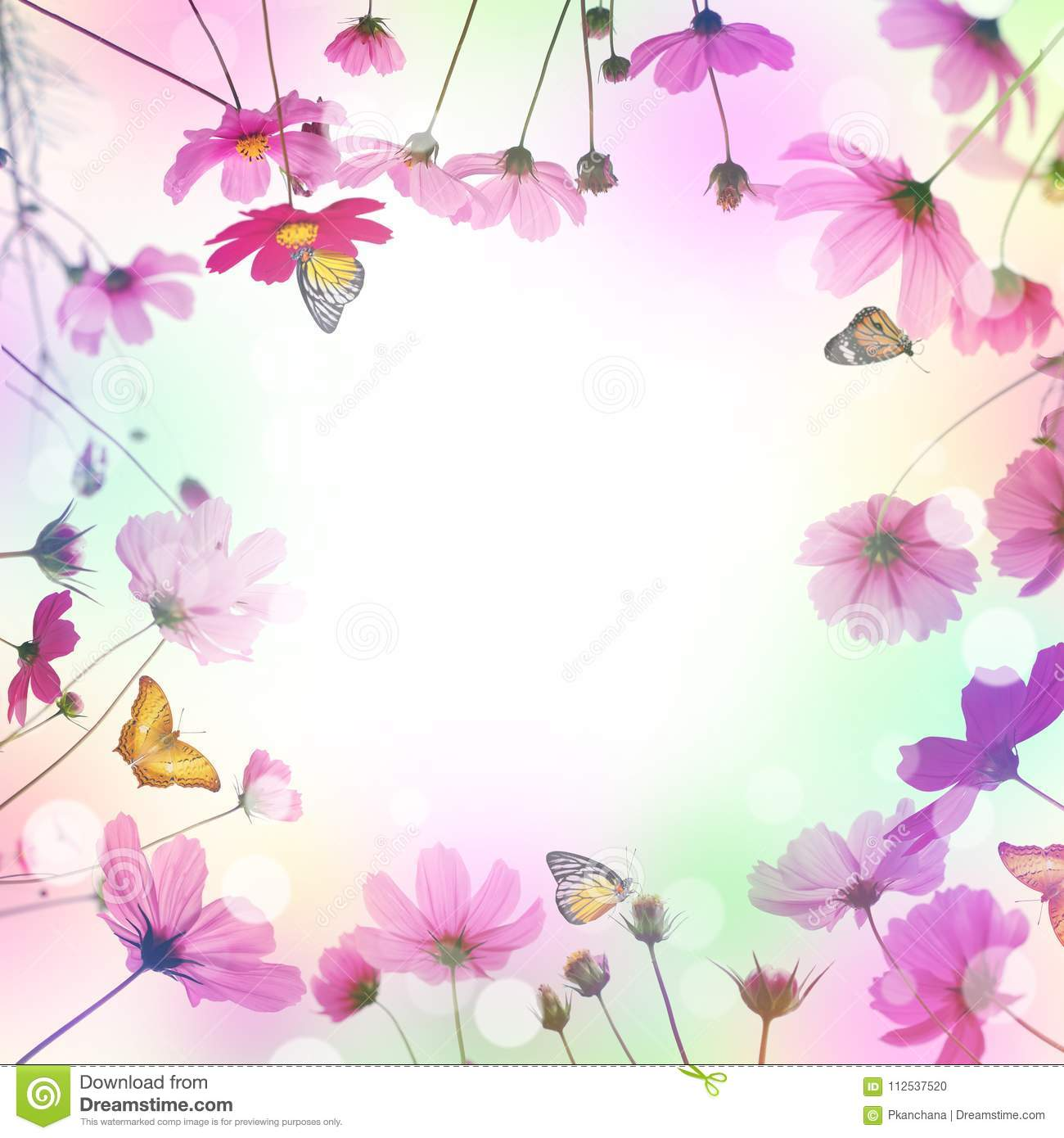 Pink Cosmos Flower And Butterfly In The Meadow Stock Photo Image Of Nature Field 112537520