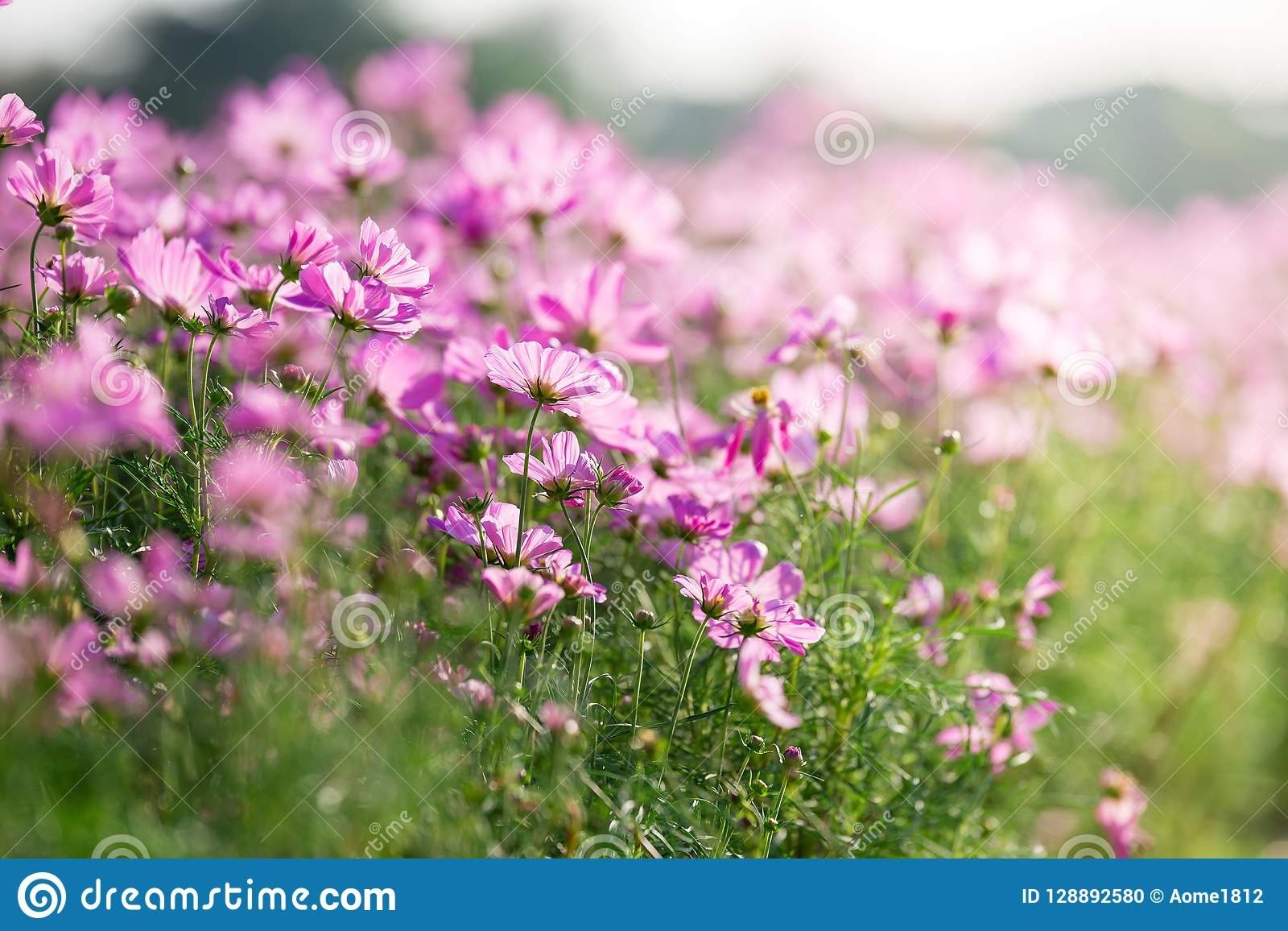 Pink Cosmos Flower Field With Sunlight Stock Photo Image Of Autumn