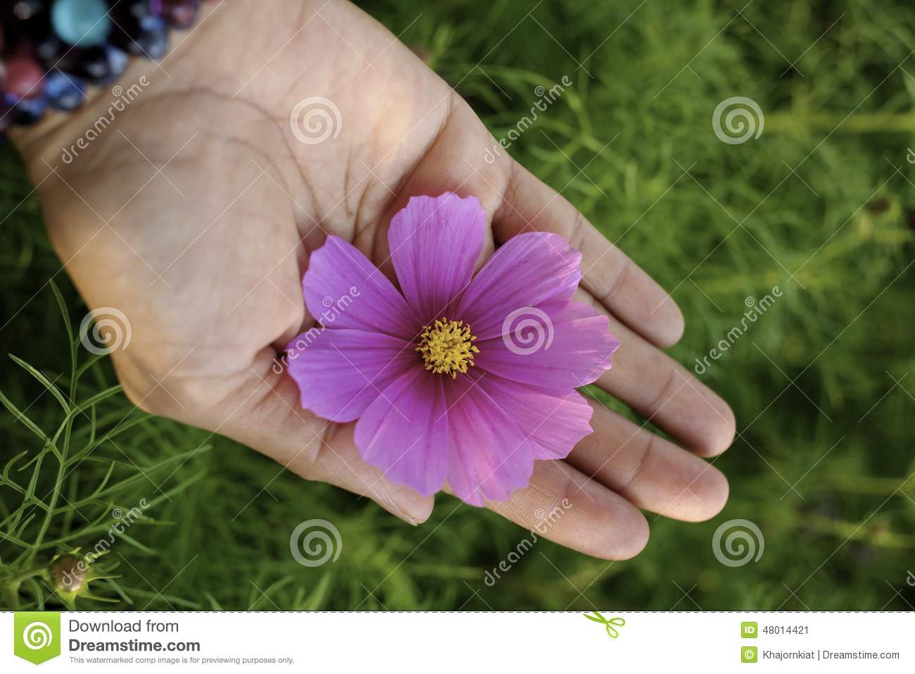 Pink cosmos flower on hand stock image image of bipinnatus 48014421 pink cosmos flower on hand izmirmasajfo