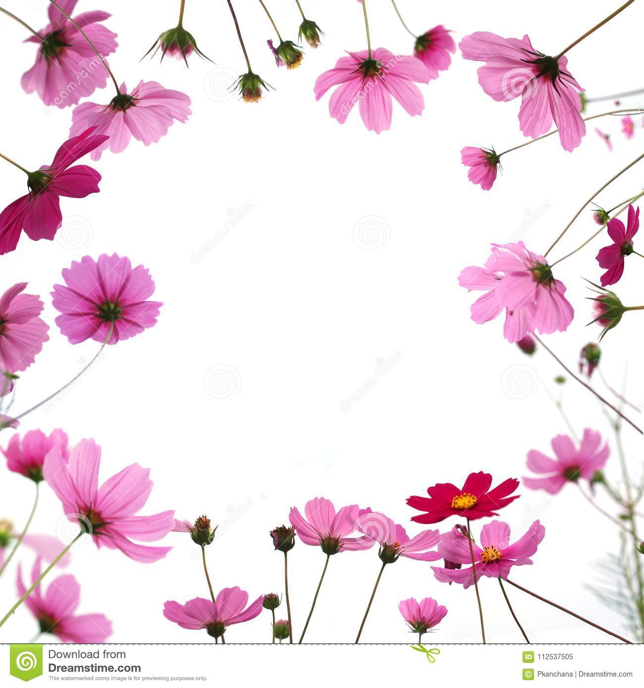 Pink Cosmos Flower In The Meadow Isolated On White Background Stock Image Image Of Love Floral 112537505