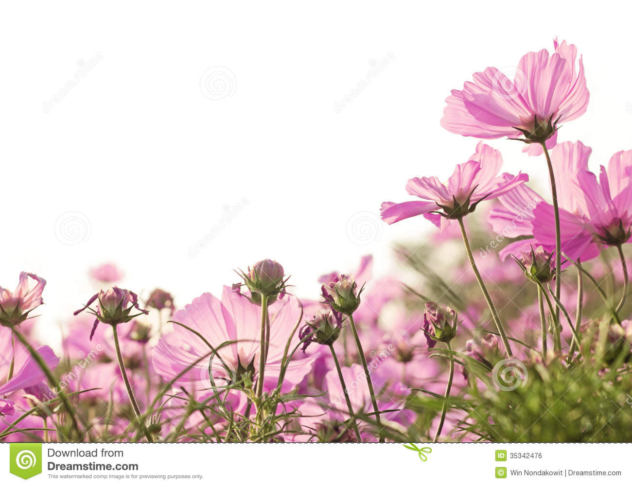 Girly Background Royalty Free Stock Photo: Pink Cosmos Flower Stock Photo. Image Of Cosmos, Petal