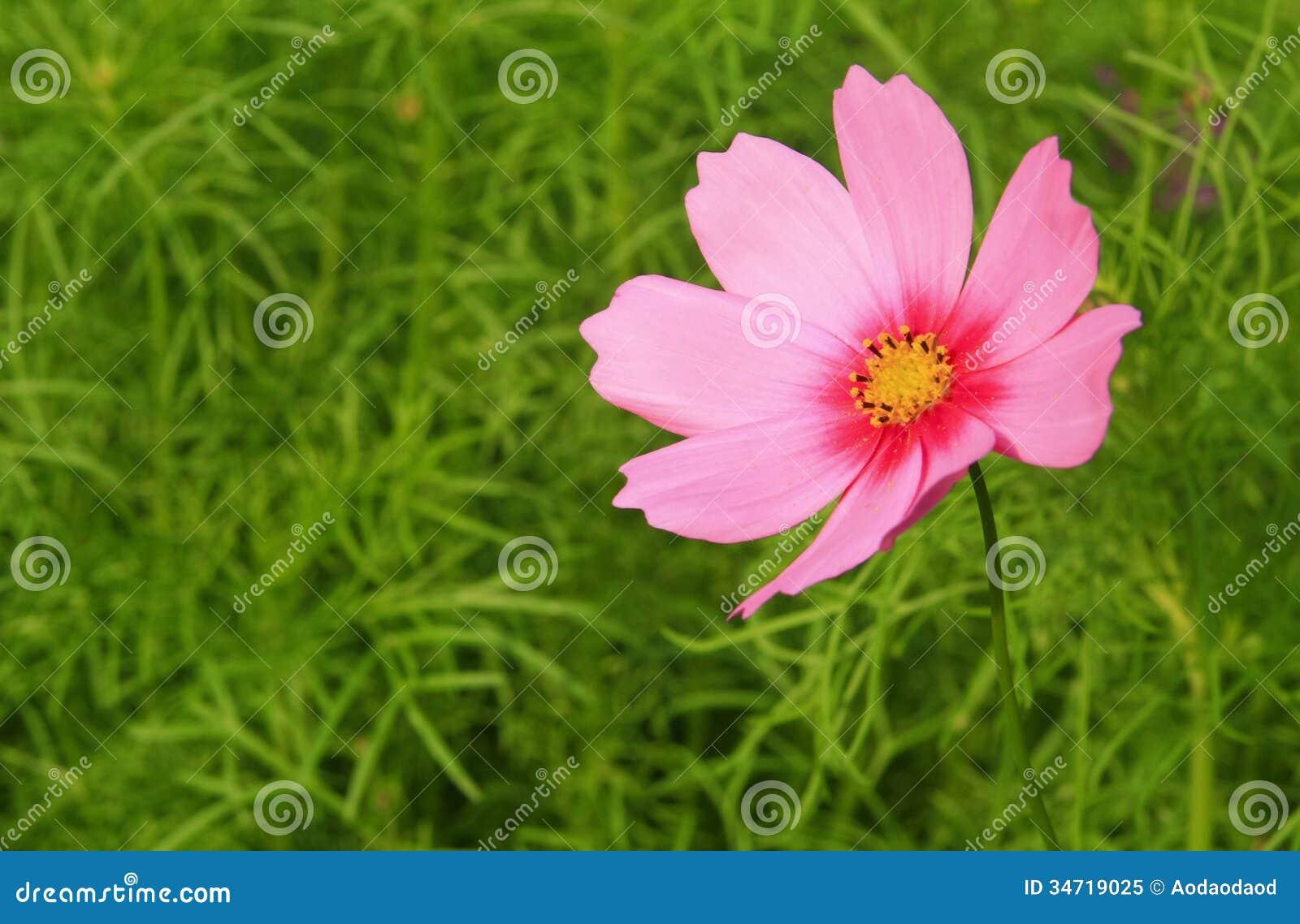 Pink cosmos flower stock image image of flora beautiful 34719025 pink cosmos flower mightylinksfo