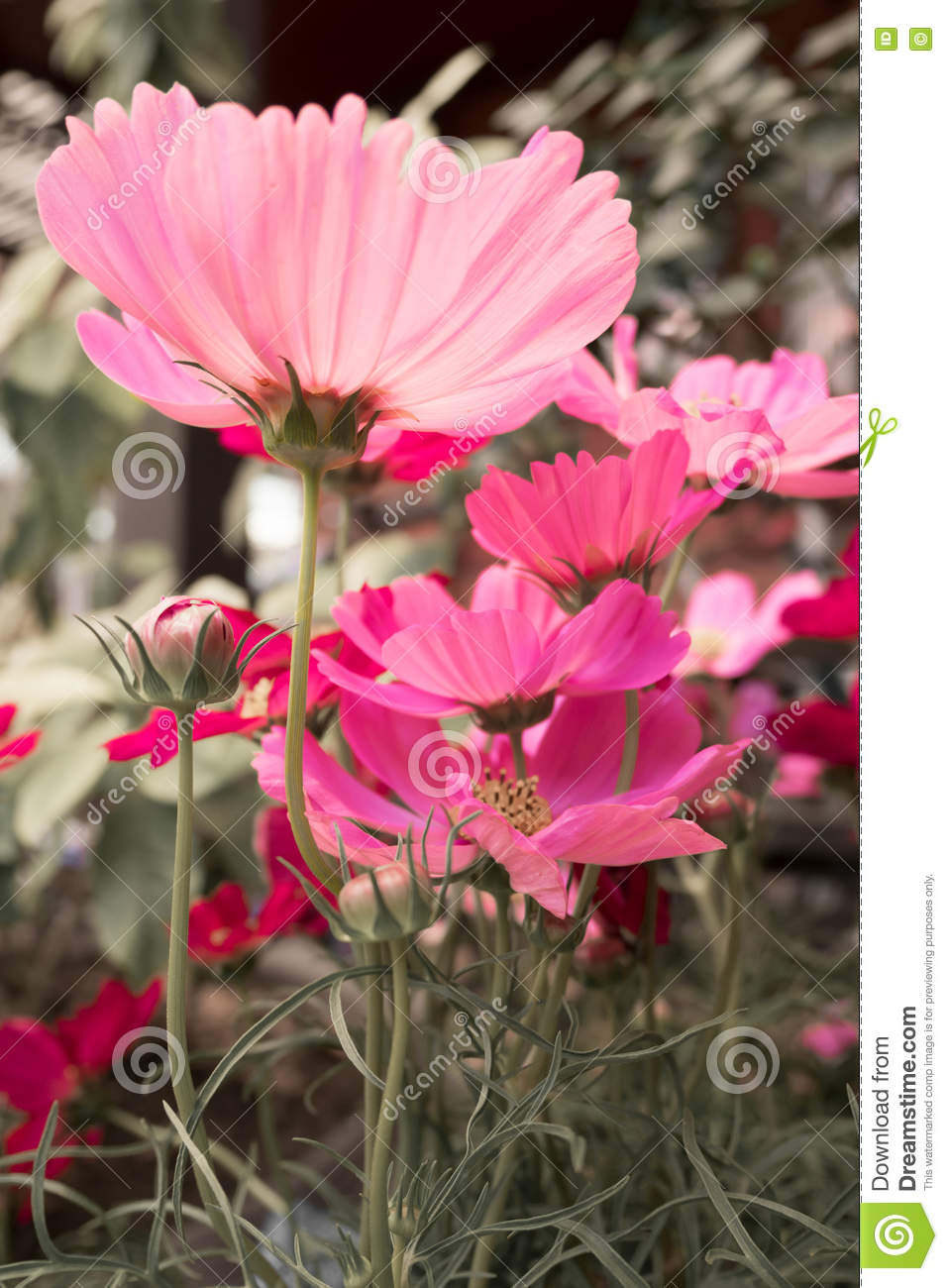 Pink Cosmos Flowers With Black And White Background Bright Color