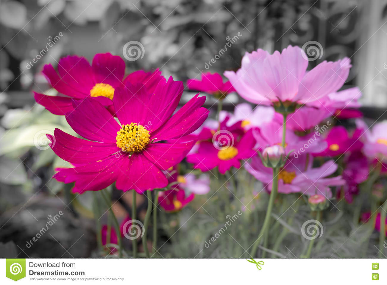 Pink Cosmos Flowers With Black And White Background Pale Color