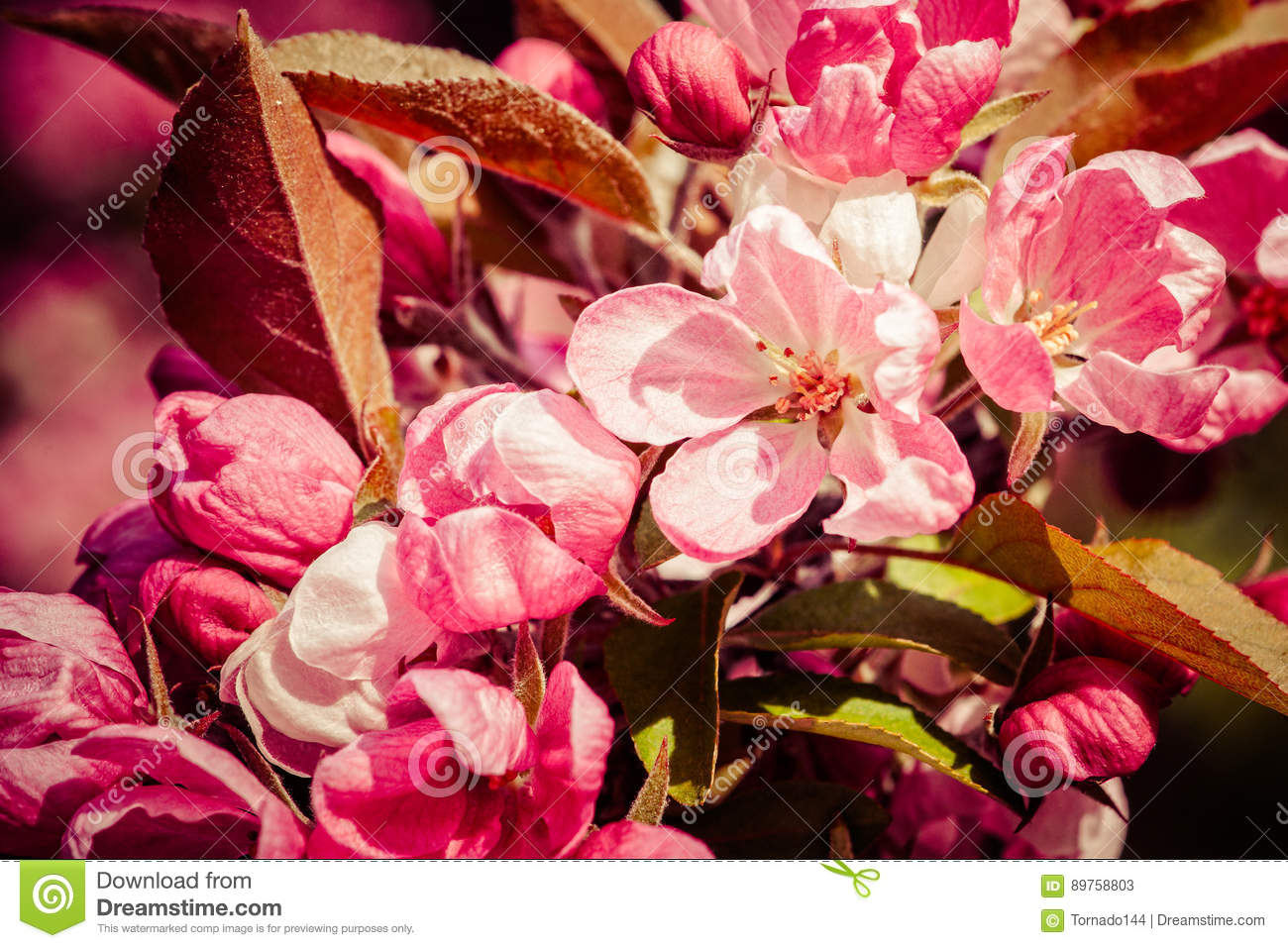 Pink crabapple flowers stock image image of cluster 89758803 closeup view of crabapple tree in bloom clusters or bunches of pink flowers stylized floral photography joy and beauty of spring season mightylinksfo