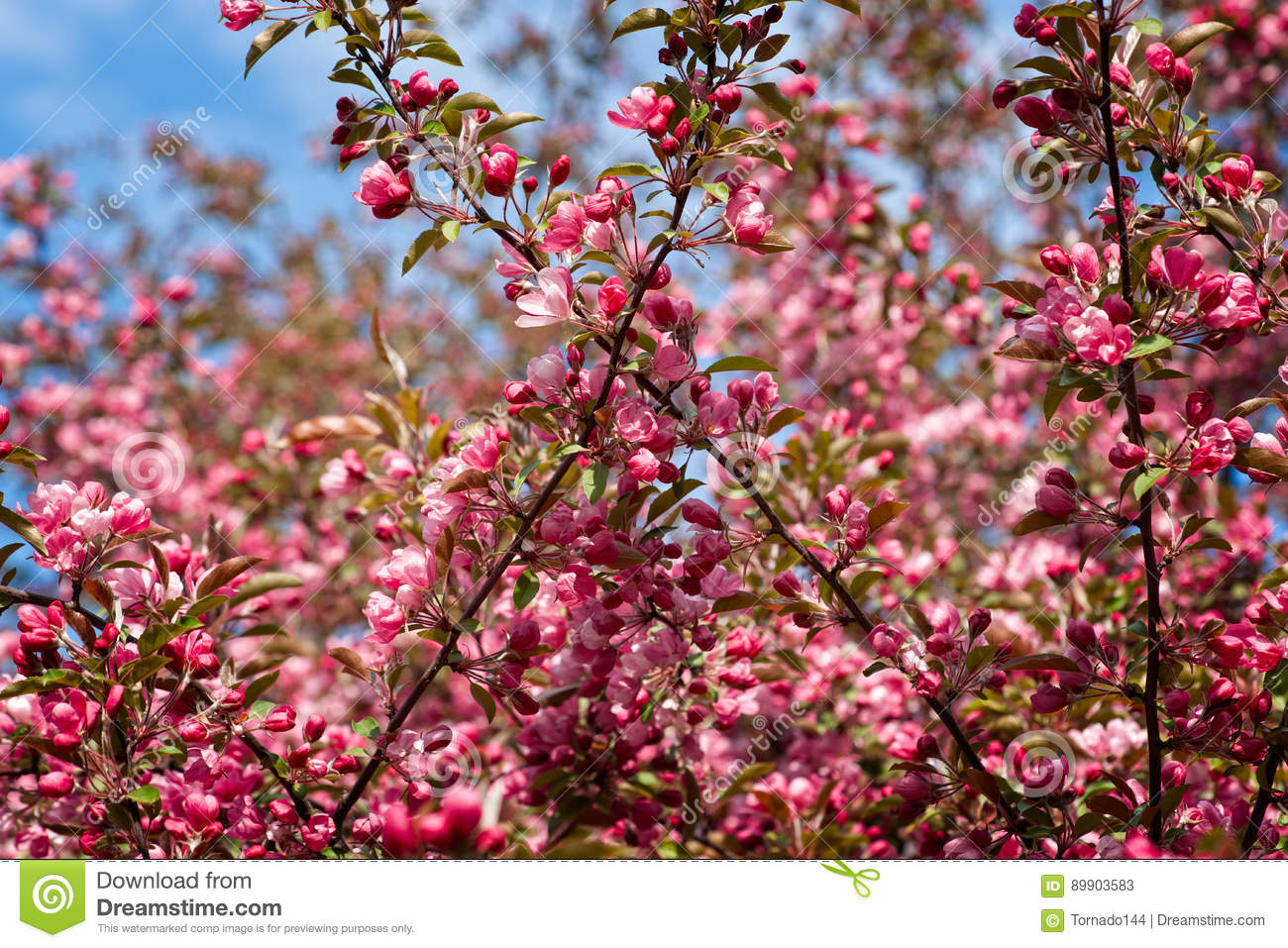 Pink Crabapple Flowers Stock Image Image Of Closeup 89903583