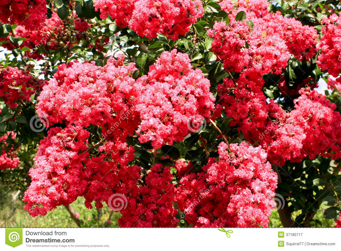 Pink Crepe Myrtle Flowers On Tree Stock Image Image Of Myrtle
