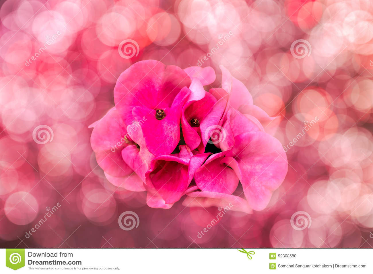 Pink Crown Of Thorns Flower With Bokeh Background Stock Photo