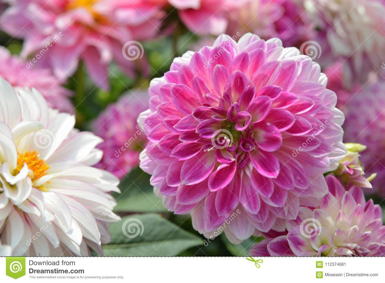 Pink Dahlia Flower Stock Image Image Of Flower Panicles 112374681