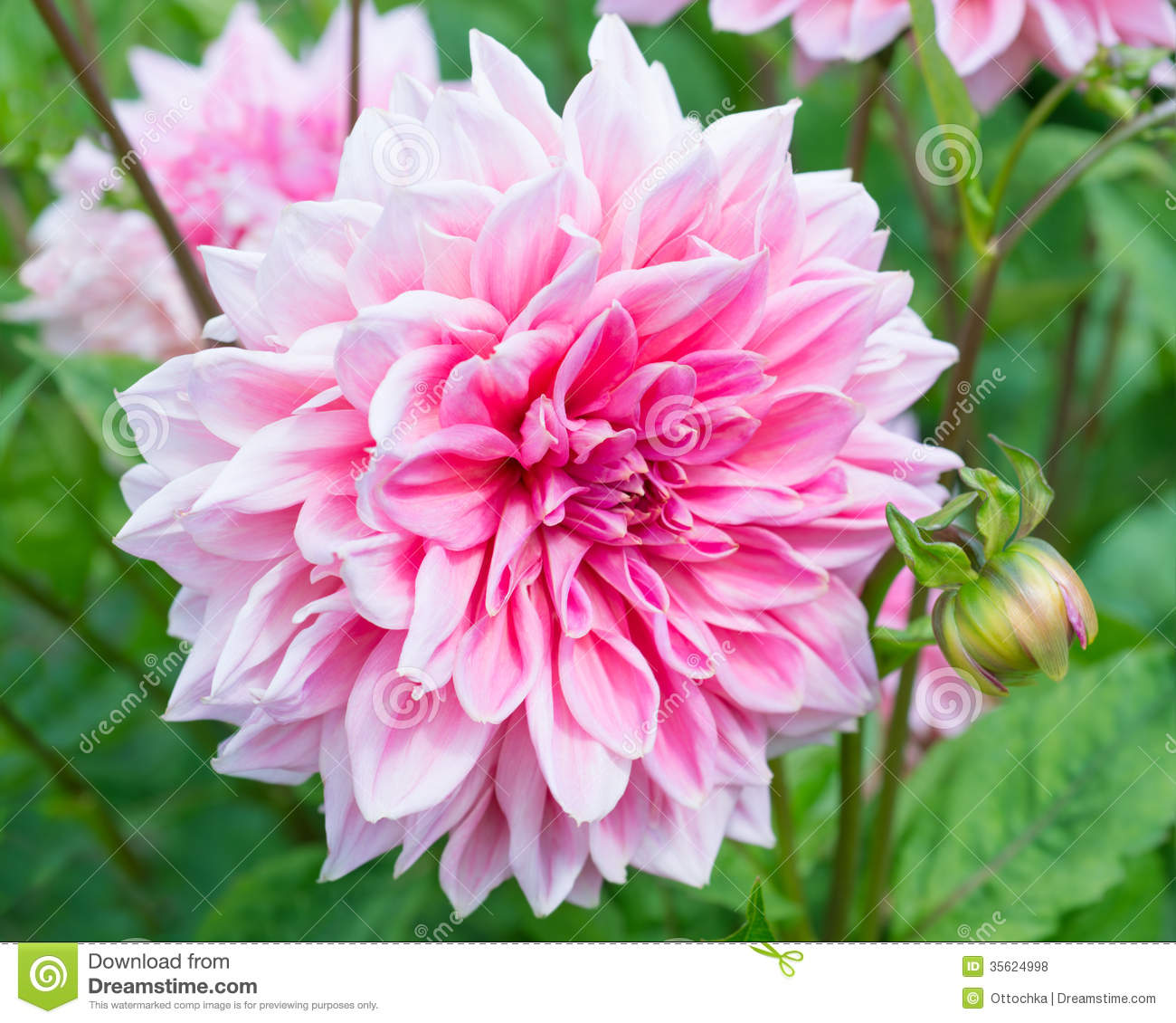 pink dahlia flower stock photo image of flower grow 35624998