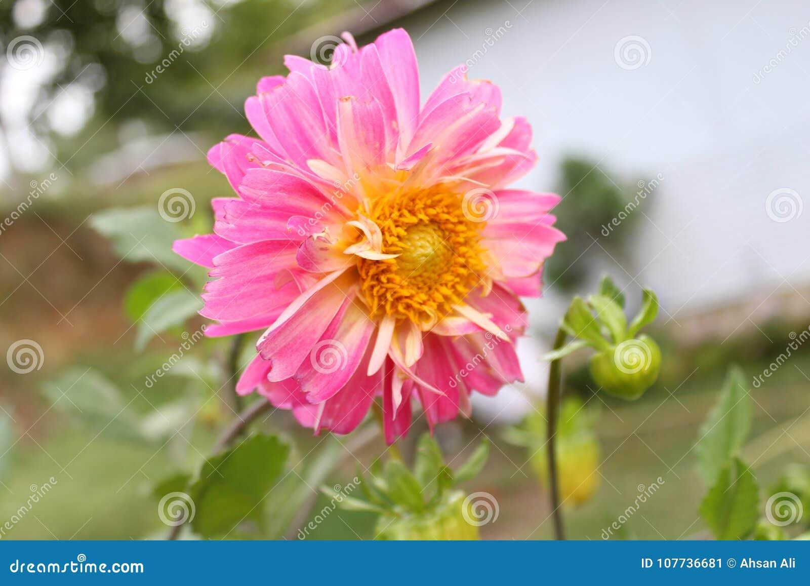 Pink dahlia flower in the himalayas mountain stock image image of download pink dahlia flower in the himalayas mountain stock image image of countries bridge izmirmasajfo