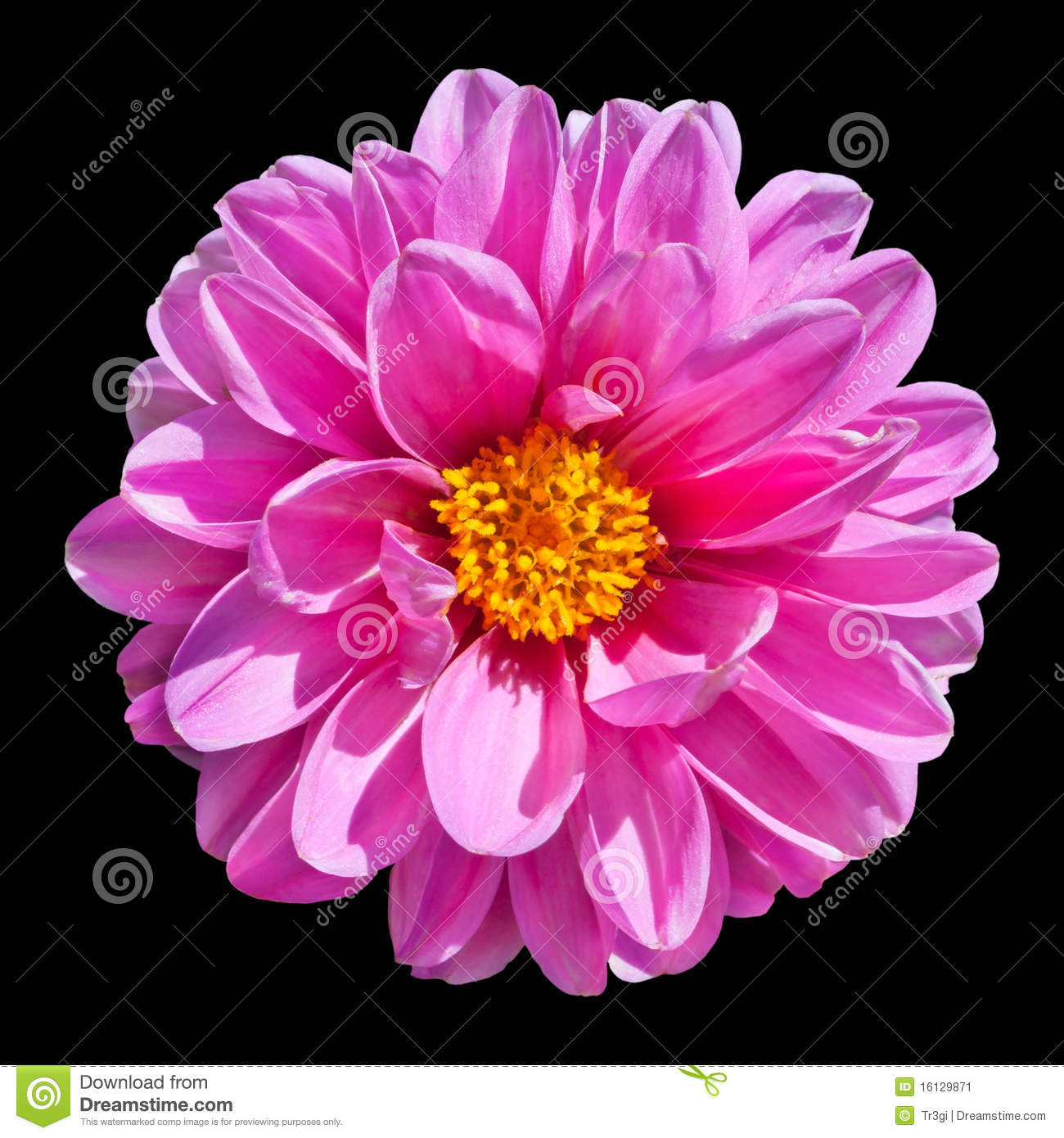 Pink Dahlia Flower Isolated On Black Background Stock ...