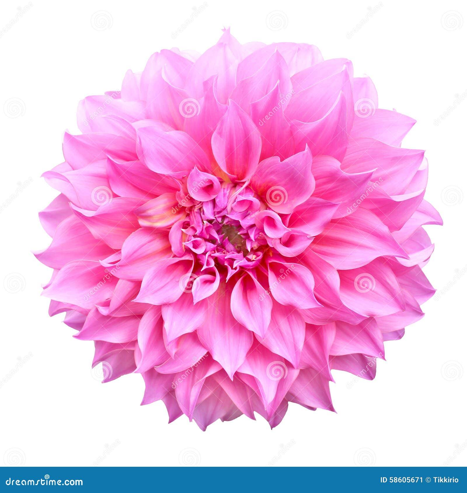 pink dahlia flower isolated on white background stock burgundy dahlia clipart dahlia clipart free