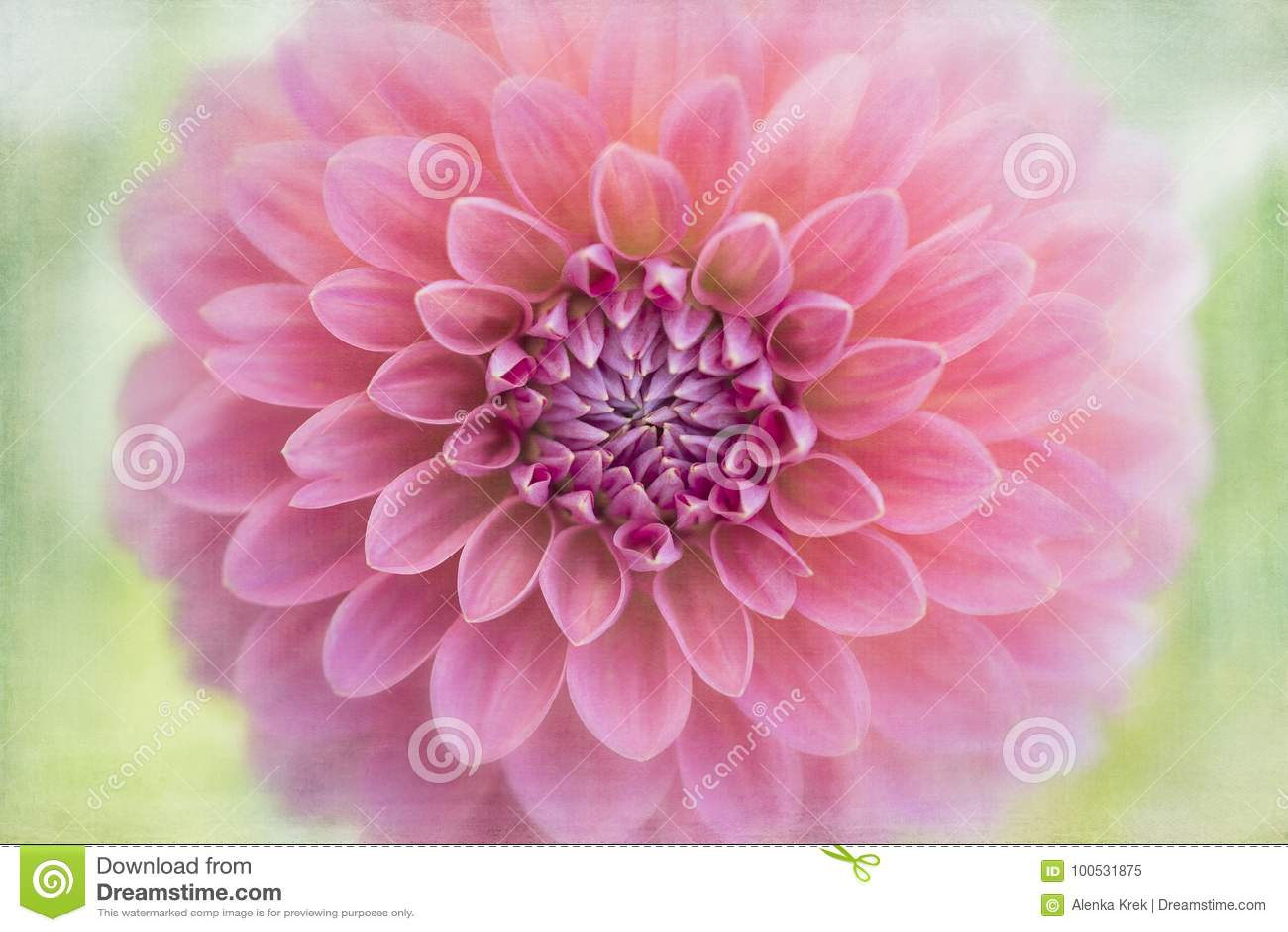 Pink dahlia flower macro stock image image of macro 100531875 download pink dahlia flower macro stock image image of macro 100531875 izmirmasajfo