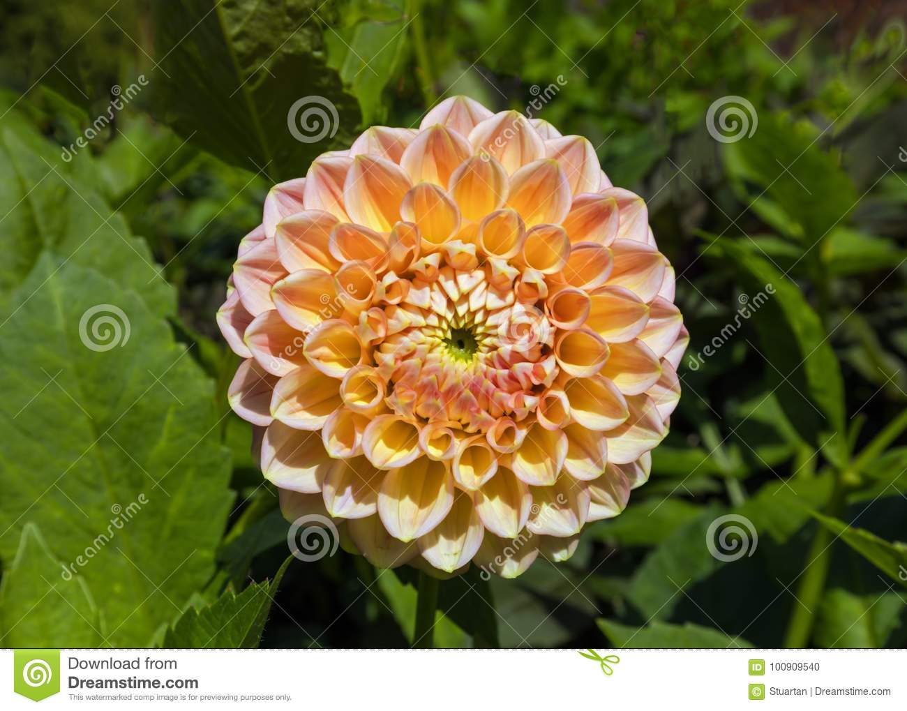Pink Dahlia Flower Worcestershire Stock Photo Image Of Mexico