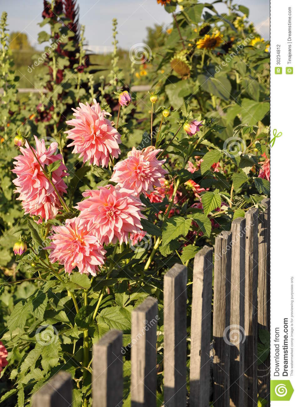 Dahlia In The Garden Stock Photography Image 30234812