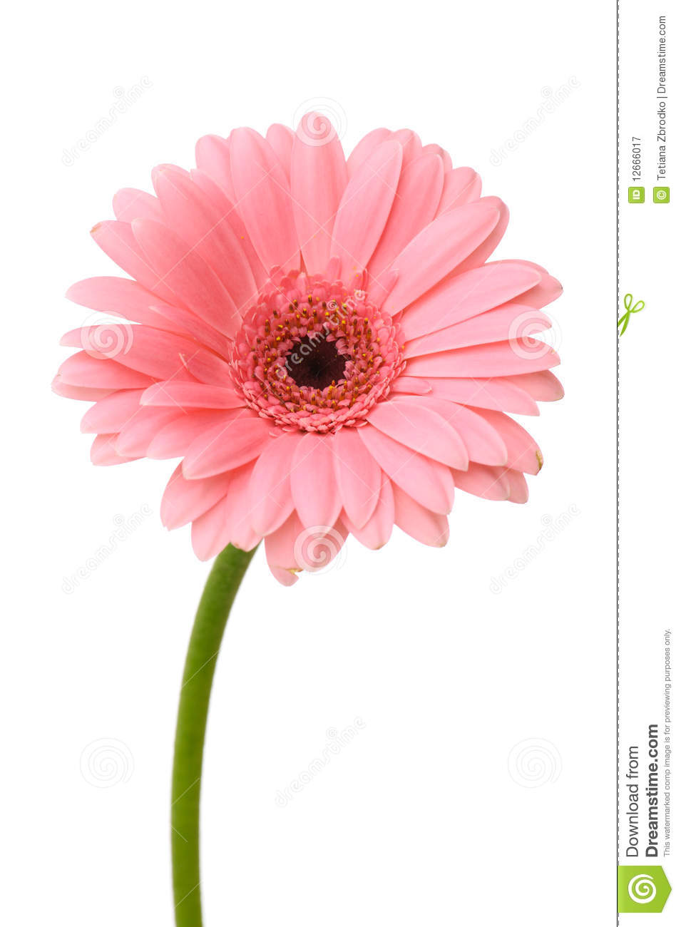 Pink Daisy Flower Stock Image Image Of Beautiful Abloom 12666017