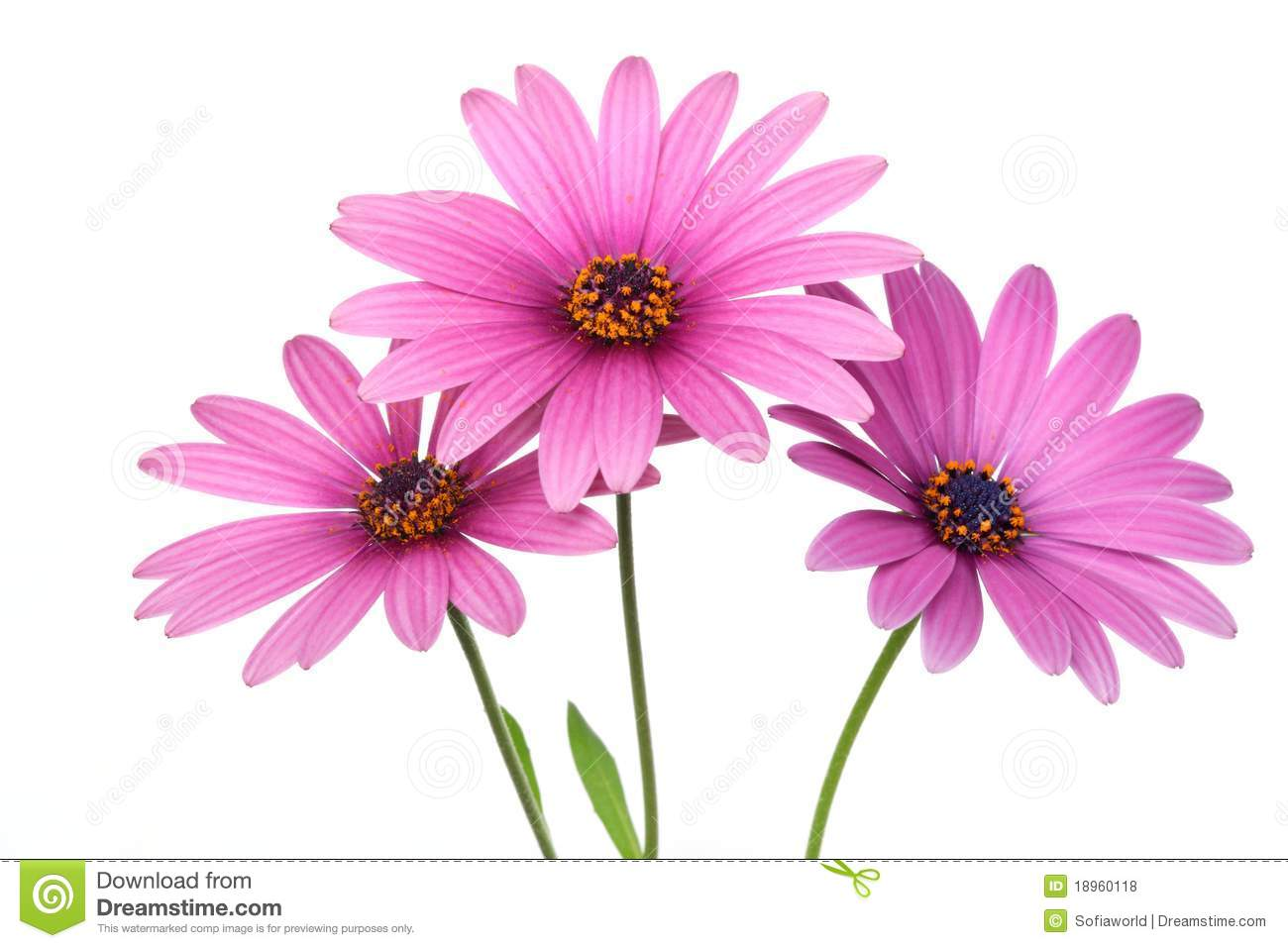 Pink Daisy Flower Stock Photo Image Of Marigold Daisy 18960118