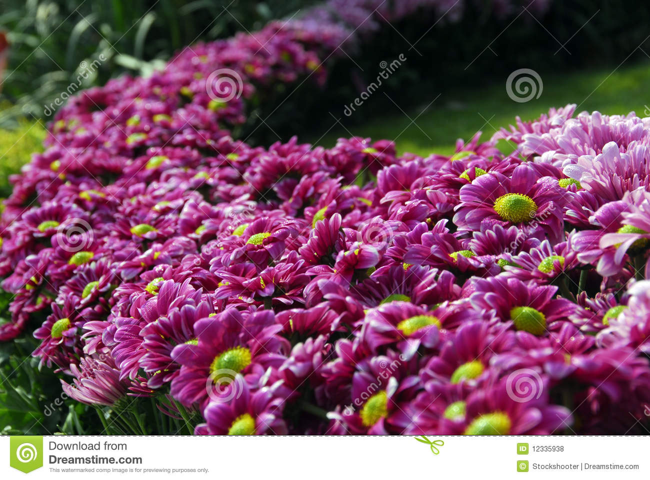 pink daisy flower bush garden royalty free stock photos