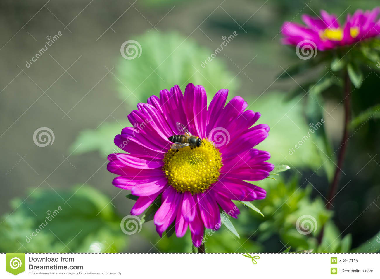Pink daisy flower stock image image of leaving long 83462115 royalty free stock photo izmirmasajfo