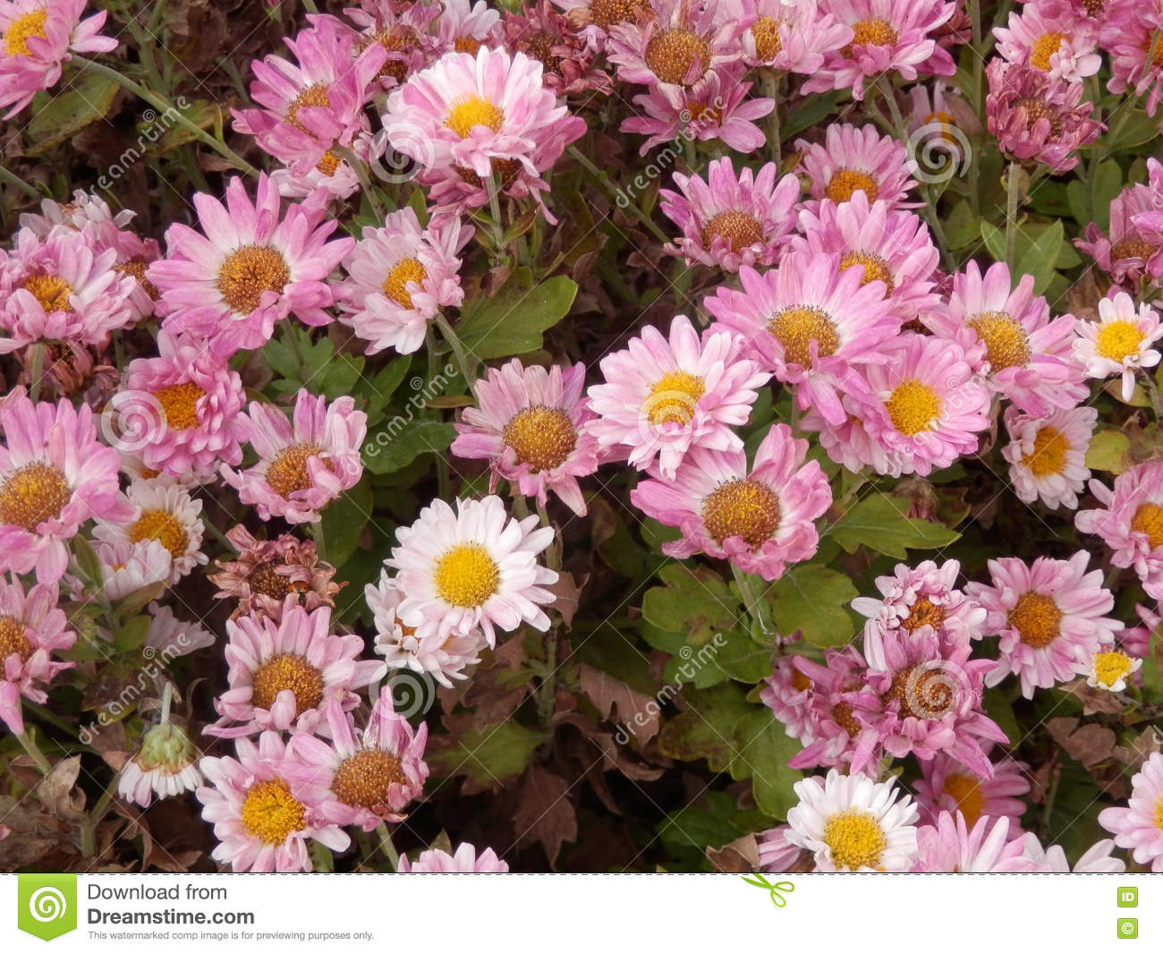 Pink Daisy Flowers Stock Photo Image Of Outdoors Growth 80469230