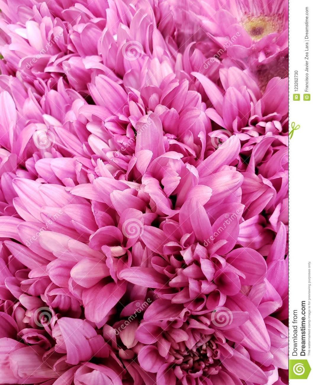 Pink daisy flowers in a floral bouquet background and texture stock download pink daisy flowers in a floral bouquet background and texture stock photo image izmirmasajfo