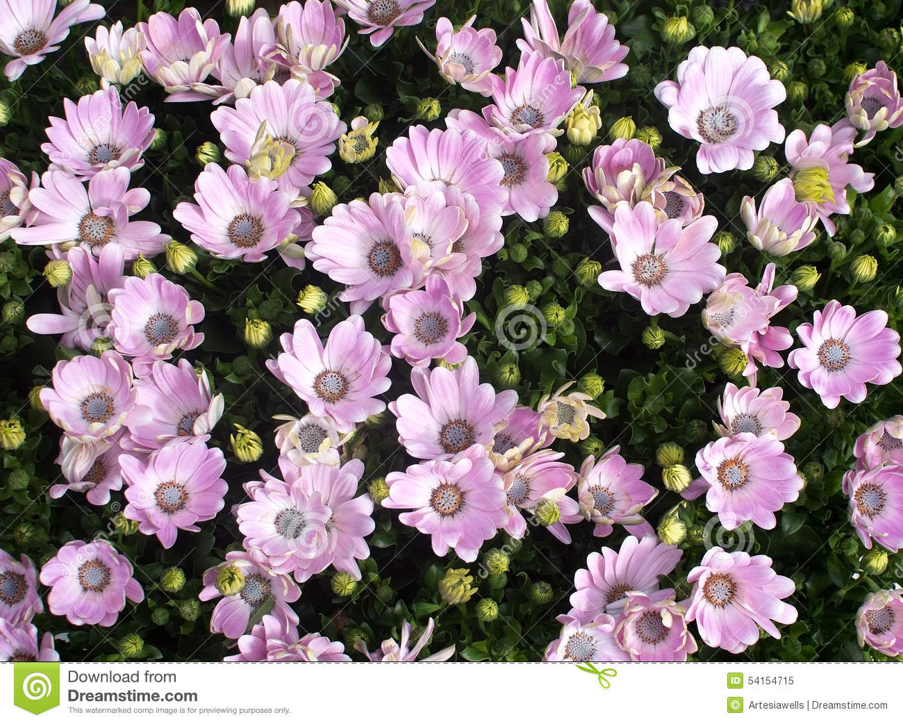 Pink daisy like flowers stock image image of outdoor 54154715 download pink daisy like flowers stock image image of outdoor 54154715 izmirmasajfo