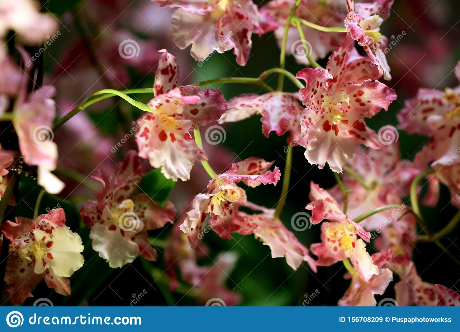 Beautiful Pink Dancing Lady Orchid or Oncidium With Natural Light.