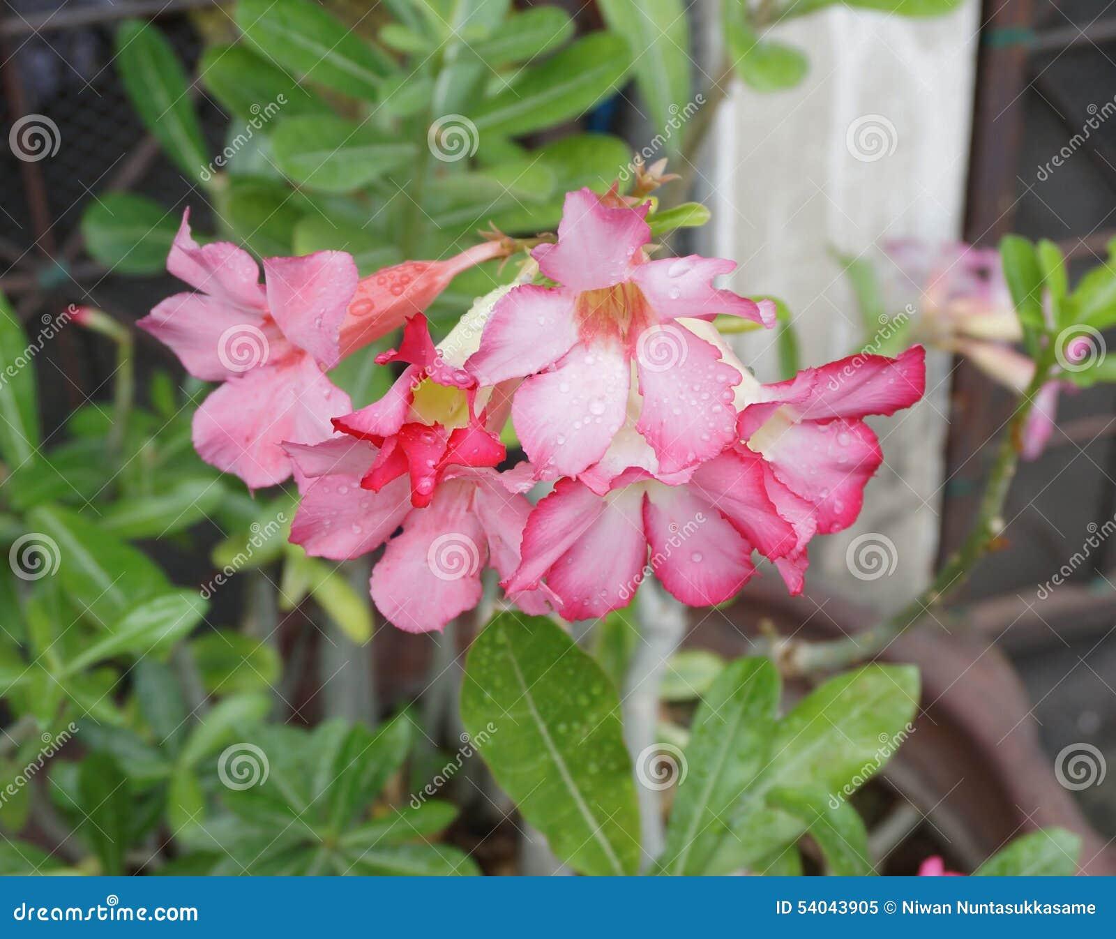 Pink desert flower adenium obesum stock image image of floral download pink desert flower adenium obesum stock image image of floral biology mightylinksfo