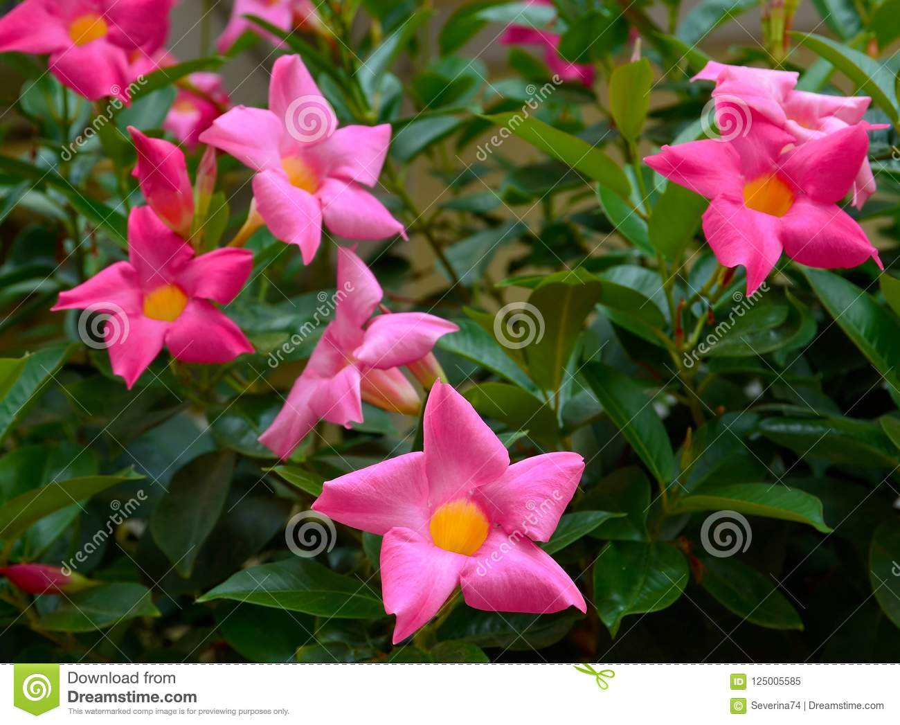Pink flowers names and picture topsimages pink desert rose also known the names adenium obesum impala lily jpg 1300x1047 pink flowers names mightylinksfo