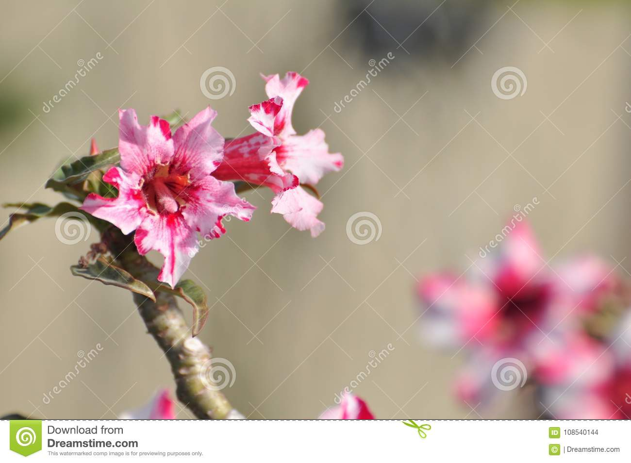 Pink Desert Rose Flowerautiful Pink Flowers Stock Photo Image