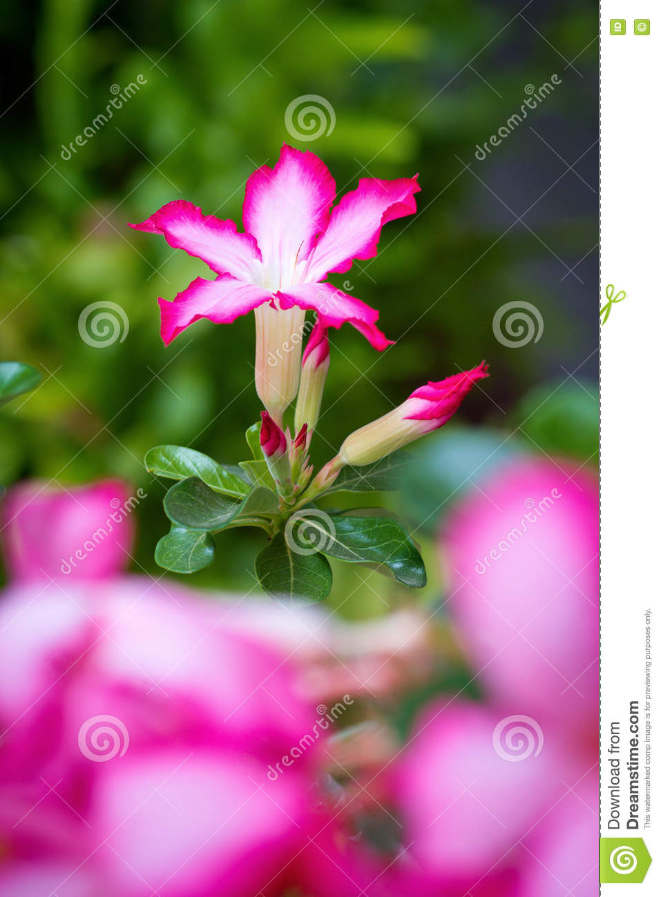 The Pink Desert Rose Or Impala Lily Flower Stock Photo Image Of